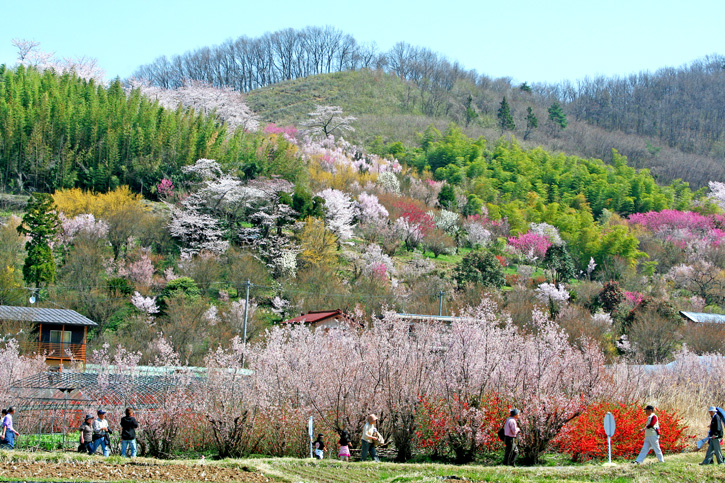 อลังการซากุระบานร้อยล้านความงามที่ญี่ปุ่น